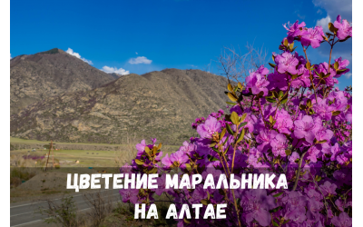 Тур «Цветение Маральника на Алтае»