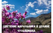 Цветение Маральника в долине Чулышмана